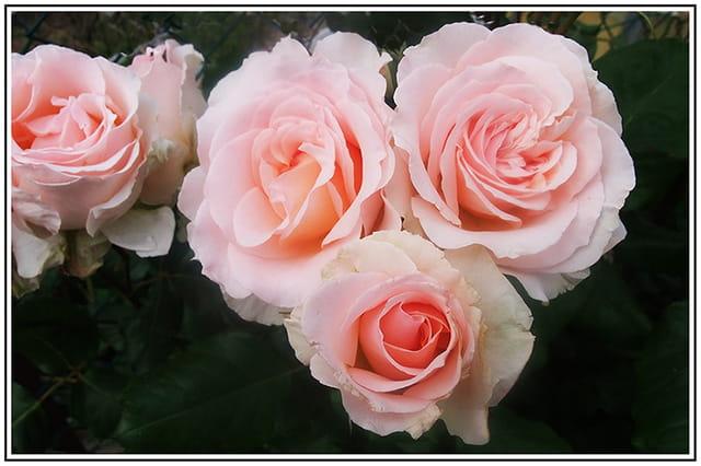 rosiers buisson par floreal ibanez sur l 39 internaute. Black Bedroom Furniture Sets. Home Design Ideas