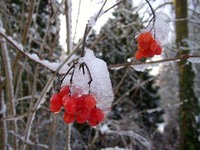 Rouge en hiver