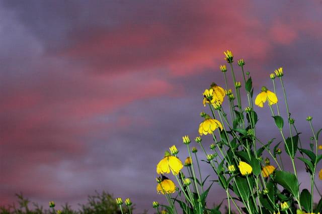 Rudbeckia maxima après la pluie, au soleil couchant