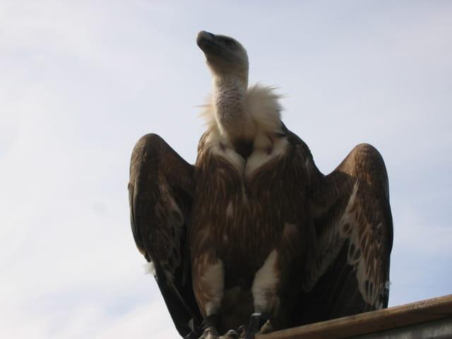 Sa majesté le vautour