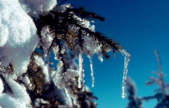 Sapin glacé des carpates