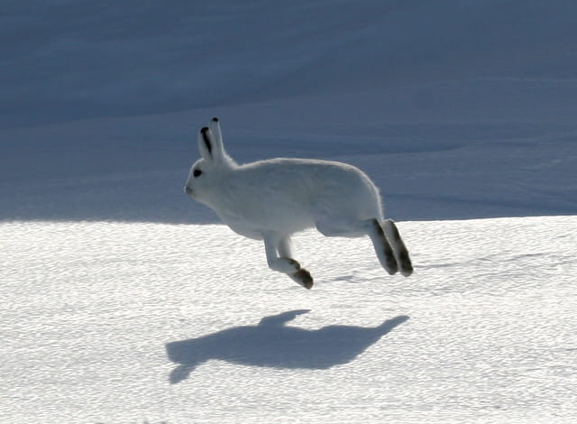 Saut de lapin (lièvre arctique)