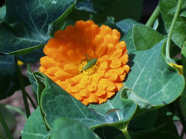 Sauterelle dans fleur