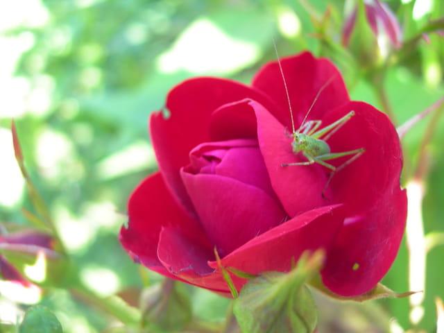 Sauterelle  et la rose  ensemble