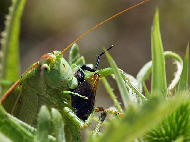 sauterelle insectivore !!!!