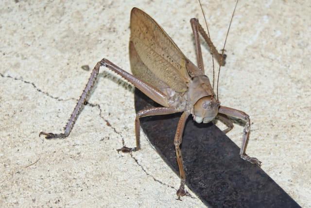 sauterelle mâle endémique de nouvelle caledonie