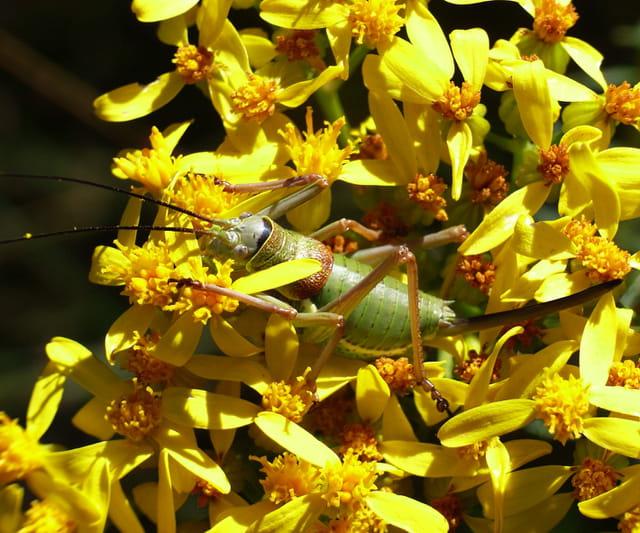 Sauterelle parmi les fleurs