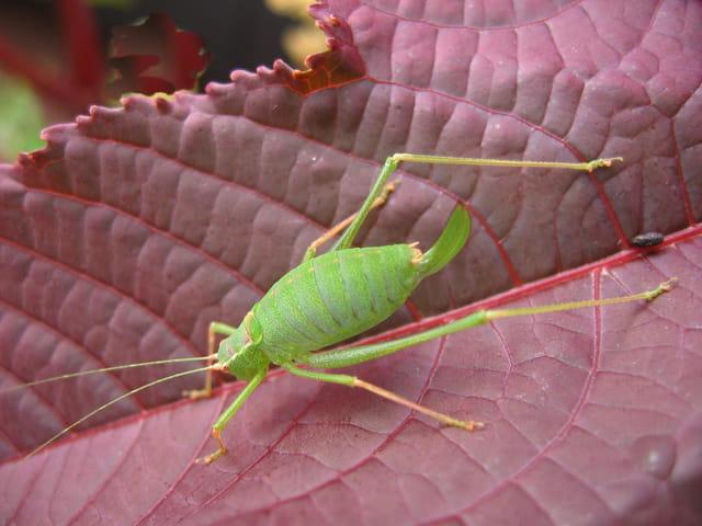 Sauterelle verte sur feuille de ricin