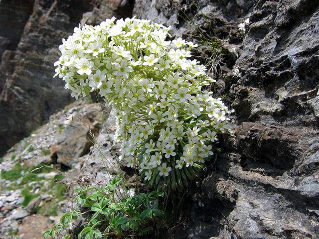 Saxifrage à longues feuilles