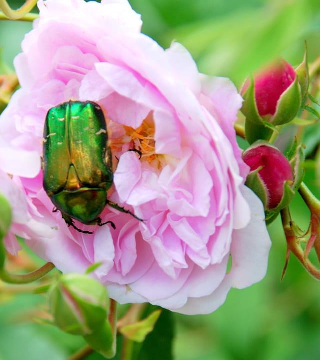 Scarabé vert et roses