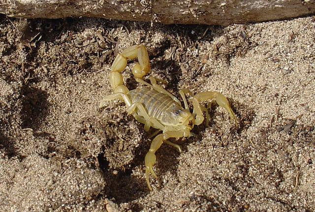 Scorpion jaune