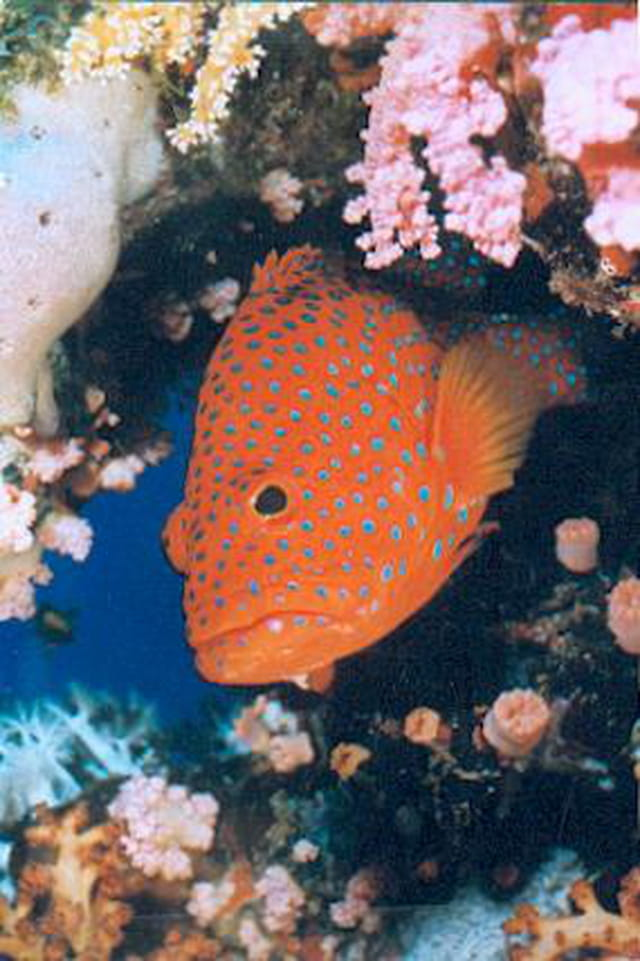 Seabass, mérou étoilé des coraux