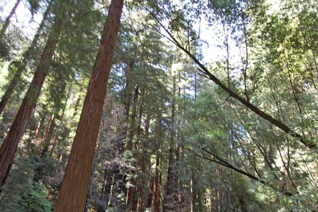 Séquoias