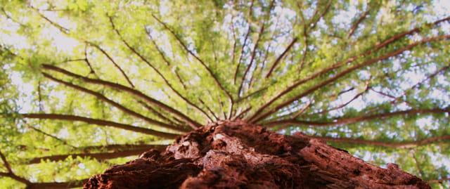 Séquoias géant