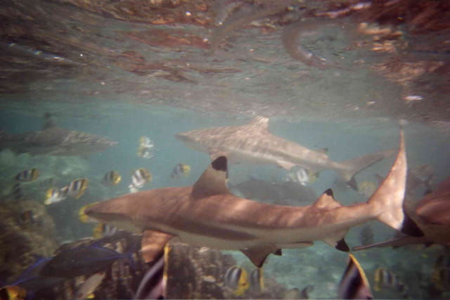 Sharkfedding