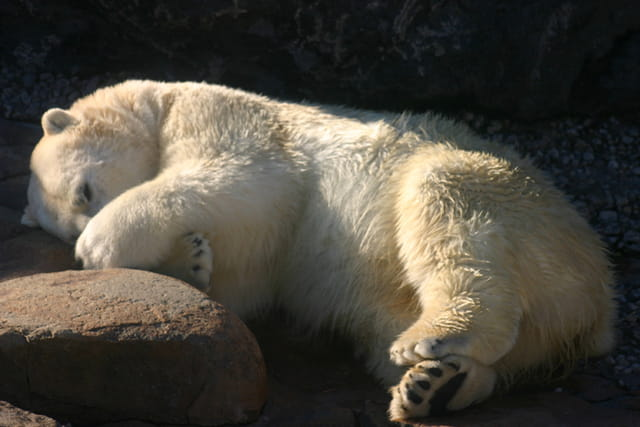 Sieste ours polaire