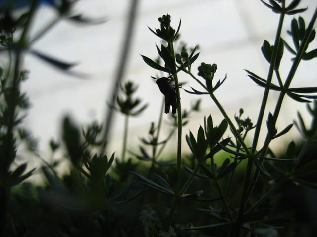 Silhouette de sauterelle