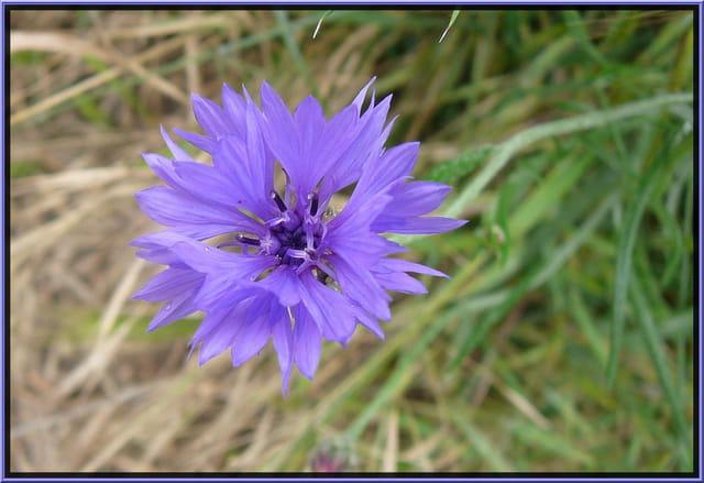 Simple bleuet en bordure du champ