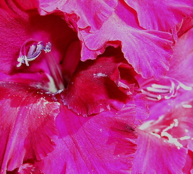 Soie rose