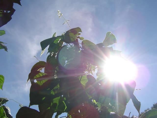 Soleil dans les haricots