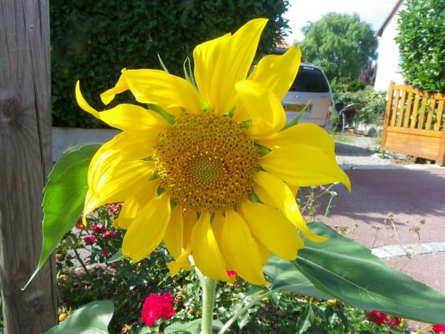 Soleil en fleur