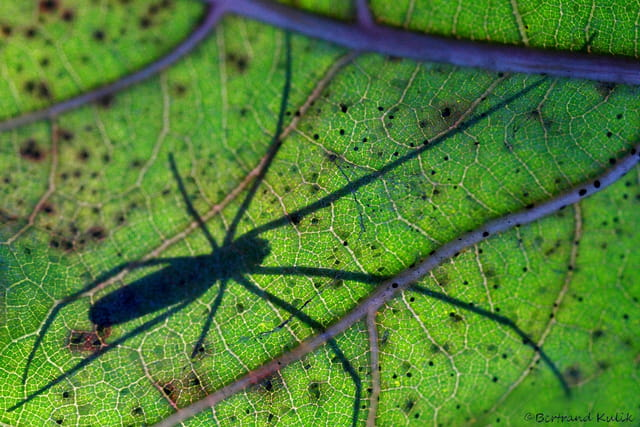 Spider leaf