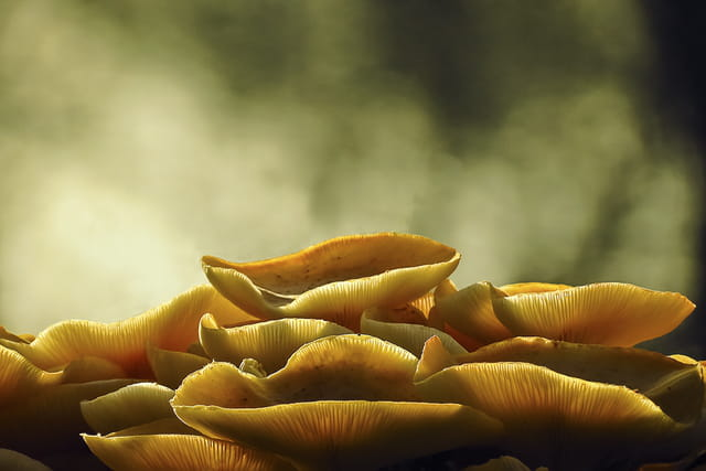 Sporulation du champignon