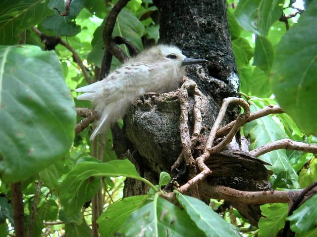 Sterne blanche au nid