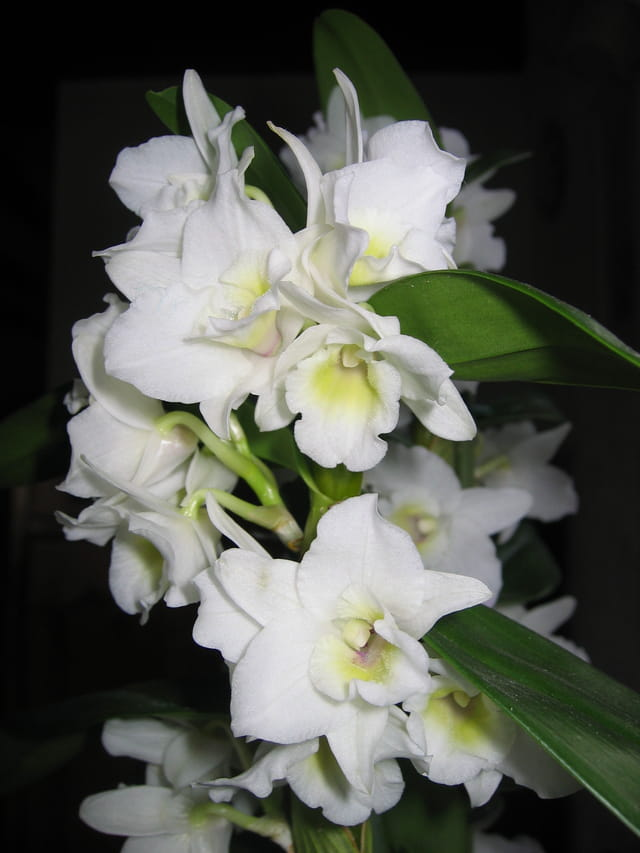 Sublime orchidée