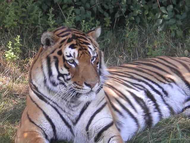superbe tigre