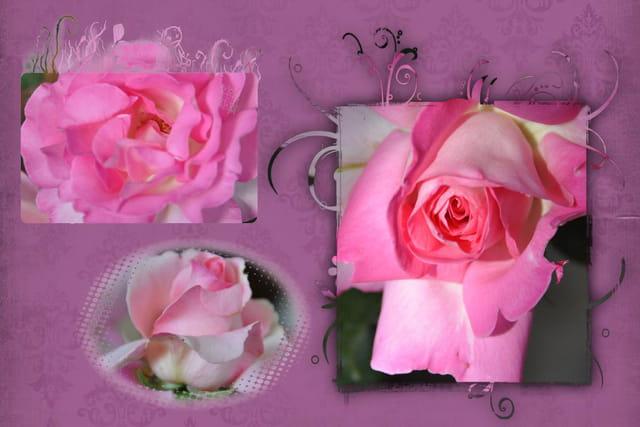 Symphonie de roses