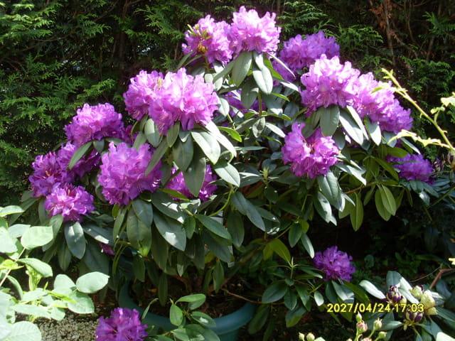 Symphonie en violet