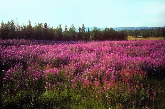 Tapis floral de Juillet