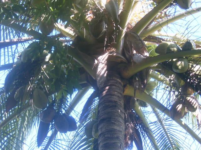 Tête à la noix de coco !