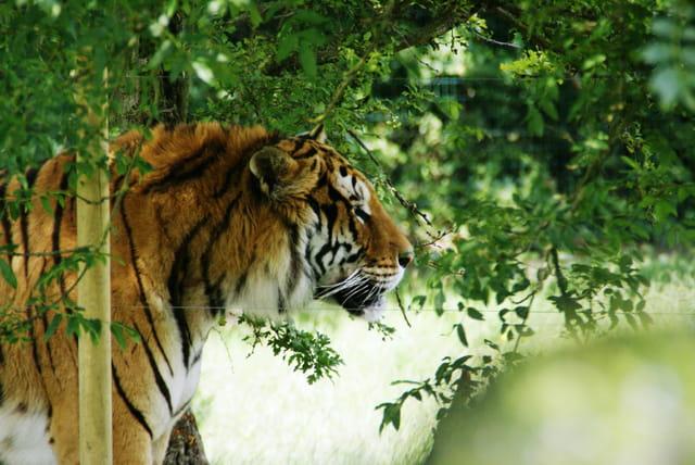 Tete de tigre par philippe michel sur l 39 internaute - Image tete de tigre ...