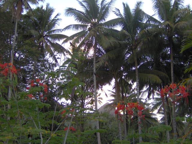 Têtes rouges dans les cocotiers