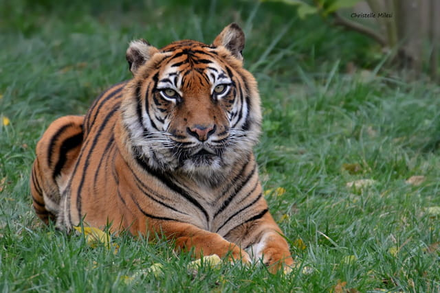 ...Tigre...