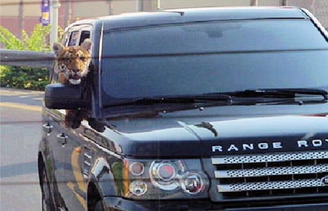 Tigre à Dubaï