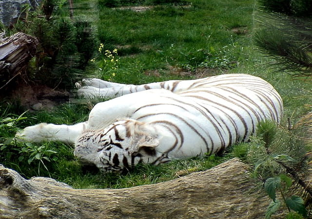Tigre blanc de peur?