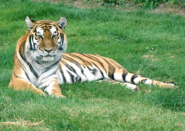 Tigre dans l'herbe