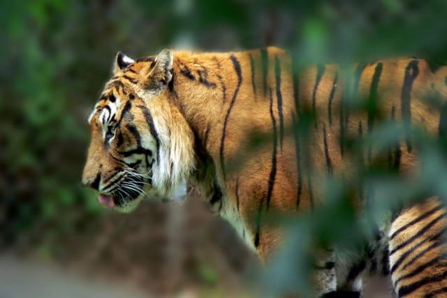 Tigre en balade