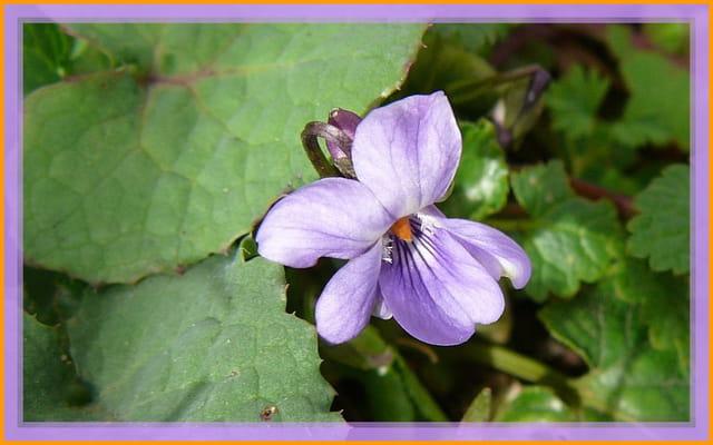 Timide petite violette dans le jardin