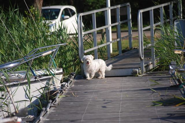 Tipy le petit chien blanc