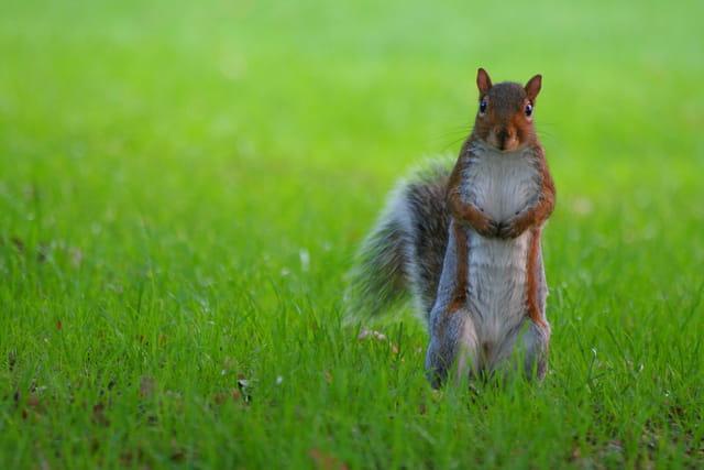 Tit écureuil