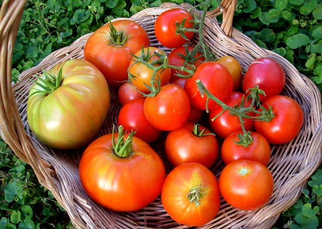Tomate bio de mon jardin