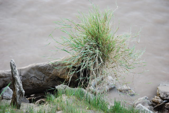 touffe d'herbe au bord de l'eau