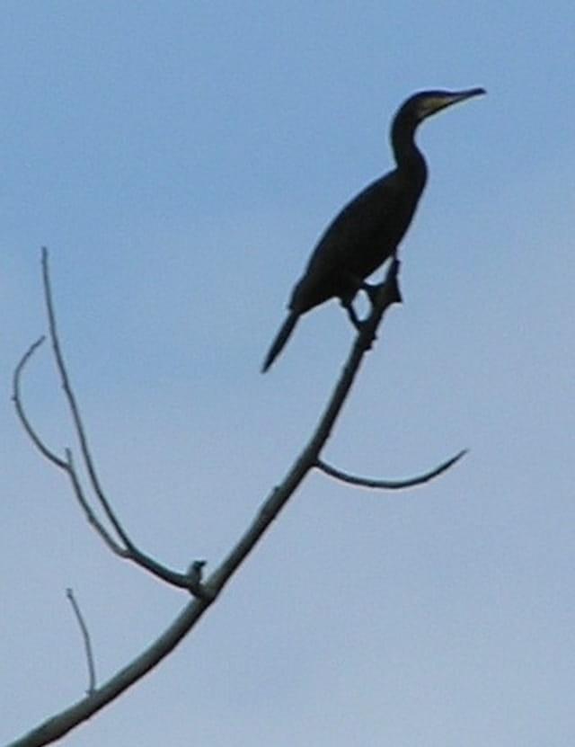 Toujours plus haut : Le cormoran