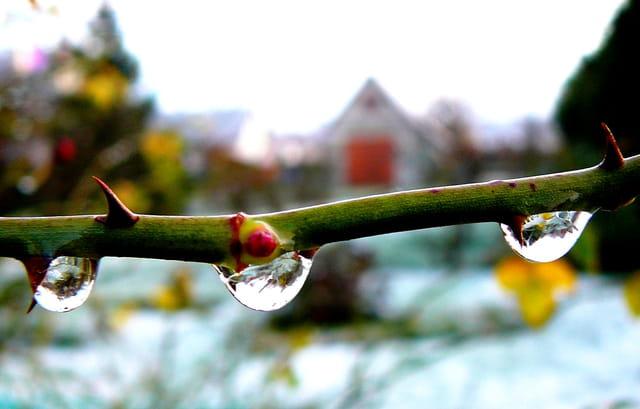 Transparence des petits glaçons sur une branche de rosier