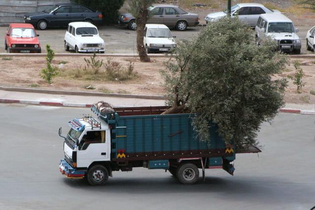Transport d'un olivier
