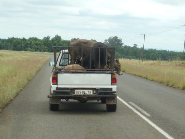 Transport de vaches au swaziland